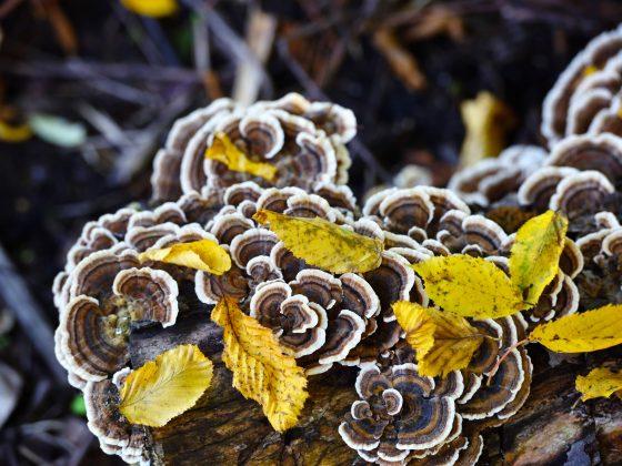 Trametes versicolor mushroom in the autumn forest.